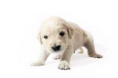 Golden Retriever puppy. Sweet little puppy, resting Royalty Free Stock Image