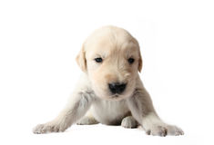 Golden Retriever puppy. Sweet little puppy, resting This puppy listens so well Royalty Free Stock Image