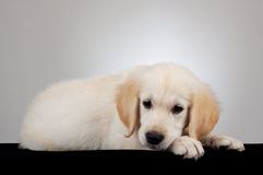 Golden retriever puppy Stock Images