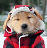 Golden retriever puppy. In plaid hat and coat Royalty Free Stock Photography