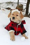 Golden retriever puppy. In plaid hat and coat sitting in snow Royalty Free Stock Image
