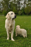 Golden retriever with puppy. In park Royalty Free Stock Images