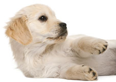 Golden Retriever puppy, 20 weeks old Royalty Free Stock Photography