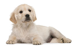 Golden Retriever puppy, 20 weeks old Stock Photo