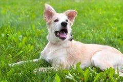 Golden retriever puppy. Lying on green grass Stock Photography
