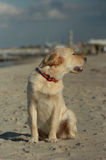 Golden retriever Puppy. Sitting in sunshine at a stormy day on the beach stock photos