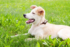 Golden retriever puppy. Lying on grass on meadow Stock Photos