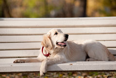 Golden retriever puppy Royalty Free Stock Photography
