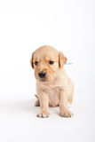 Golden retriever puppy Royalty Free Stock Photo