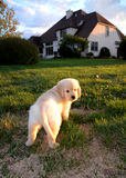 Golden Retriever Puppy. Brick sidewalk underneath a golden retriever puppy in the grass at sunset in backyard Royalty Free Stock Image