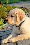 Golden Retriever Puppy. Brick sidewalk underneath a golden retriever puppy in the fall Royalty Free Stock Photos