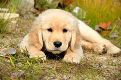 Golden Retriever Puppy. In the grass and leaves Royalty Free Stock Photos