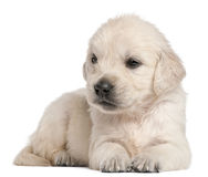 Golden Retriever puppy, 4 weeks old. In front of white background Stock Images