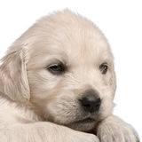 Golden Retriever puppy, 4 weeks old Stock Photography