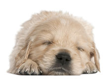 Golden Retriever puppy, 4 weeks old, asleep Stock Image