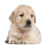 Golden Retriever puppy, 4 weeks old, lying Royalty Free Stock Images