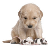 Golden Retriever puppy, 4 weeks old, and mice Stock Photography