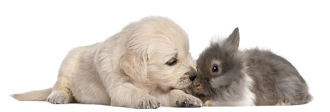 Golden Retriever puppy, 4 weeks old, and a rabbit Stock Images