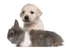 Golden Retriever puppy, 4 weeks old, and a rabbit Royalty Free Stock Photography