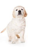 Golden retriever puppy. On white background royalty free stock photography