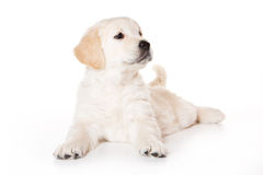 Golden retriever puppy. On white background royalty free stock photos