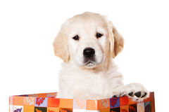 Golden retriever puppy. On white background stock photos