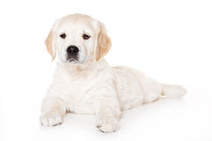 Golden retriever puppy. On white background Royalty Free Stock Photos