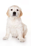 Golden retriever puppy. On white background Royalty Free Stock Photo