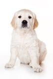 Golden retriever puppy. On white background royalty free stock photo