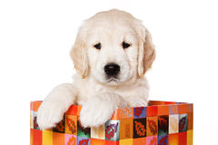 Golden retriever puppy. On white background royalty free stock image