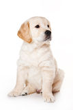 Golden retriever puppy. On white background stock images