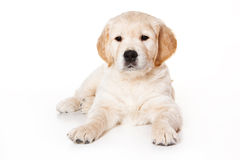 Golden retriever puppy. On white background Stock Photography
