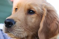 Golden retriever. This is a Golden Retriever puppy Royalty Free Stock Photography