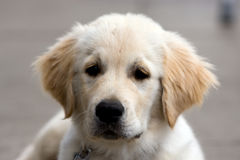 Golden Retriever puppy. Close up of a very cute golden retriever puppy three months old Stock Image