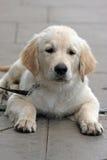 Golden Retriever puppy. A very cute golden retriever puppy three months old Stock Image