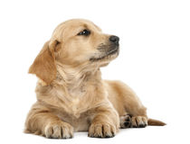 Golden retriever puppy, 7 weeks old, lying. Against white background Royalty Free Stock Photos