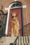 Golden Retriever Puppy. Sitting on doorstep Royalty Free Stock Photography