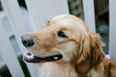 Golden Retriever Puppy. Sitting outside Royalty Free Stock Photos