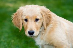Golden Retriever Puppy. A Golden Retriever puppy takes a break from playing Stock Photos