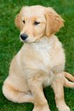 Golden Retriever Puppy. A rare moment of patience Royalty Free Stock Image