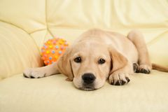 Golden retriever puppy Royalty Free Stock Images