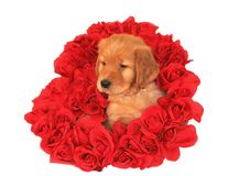 Golden retriever puppy. Inside heart of roses Stock Images