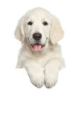 Golden Retriever puppy above white banner Royalty Free Stock Photography