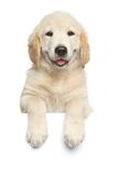 Golden Retriever puppy above white banner. Golden Retriever puppy above banner looking at camera, isolated on white background Stock Photos
