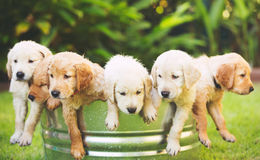 Golden Retriever Puppy Royalty Free Stock Image