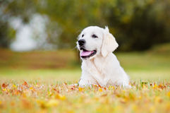 Golden retriever puppy autumn portrait Royalty Free Stock Image