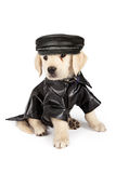 Golden Retriever Puppy Bad Dog. Golden Retriever puppy with an injured eye dressed as a bad dog in a black leather jacket and hat and a skull and crossbones Stock Photography