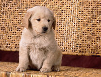Golden retriever puppy on a bench Royalty Free Stock Photo