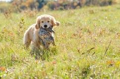 Golden Retriever Puppy with bird. In field Stock Image