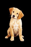 Golden Retriever Puppy on Black Royalty Free Stock Photo